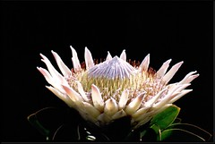 "SA 00 Protea • <a style=""font-size:0.8em;"" href=""http://www.flickr.com/photos/49106436@N00/2447910965/"" target=""_blank"">View on Flickr</a>"