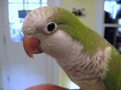 Quaker Parrot (Ivan)