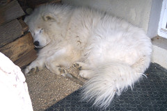 Dormire (*Tom [luckytom] ) Tags: sleeping dog white cane tom sleep block bianco dormire samoiedo ctm dormendo favcol samoid samoide luckytom
