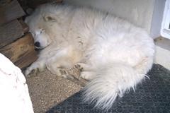 Dormire (*Tom [luckytom] ) Tags: sleeping dog white cane tom sleep block bianco dormire samoiedo ctm dormendo favcol samoid samoide luckytom
