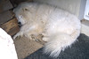 Dormire (*Tom [luckytom] ) Tags: sleeping dog white cane tom sleep block bianco dormire samoiedo ctm dormendo favcol samoid samoide luckytom