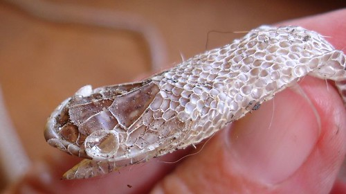 shedded snake skin - top of head