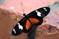 Butterfly (Bri_J) Tags: tropicalbutterflyhouse northanston sheffield southyorkshire uk yorkshire butterflyhouse nikon d7200 butterfly
