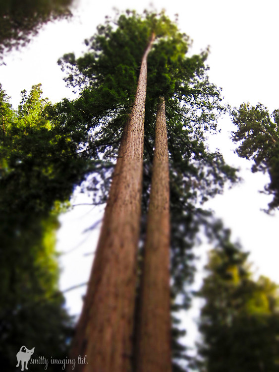 Redwood Tilt Shift