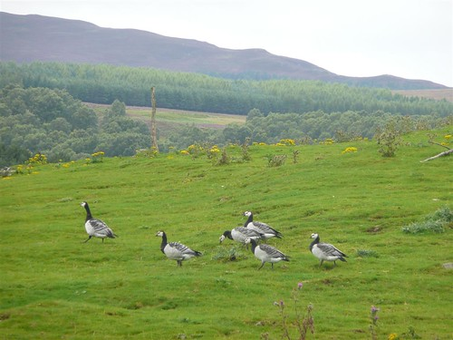 Barnacle Geese by Dennis@Stromness.