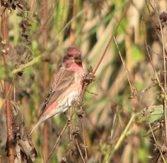 Purple finch!