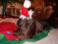 Dakota: Chocolate Lab pup wearing moose antlers