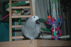 Too cute, Jinx! (greytvet02) Tags: parrot jinx