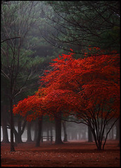 red tree (yein~) Tags: park morning autumn red tree nature topf25 beautiful fog digital canon landscape topf50 bravo plus topf100 500faves dreamcatcher amazingtalent 200faves outstandingshots naminara 300faves aplusphoto 400faves 600faves diamondclassphotographer excellentphotographerawards 700faves fiveflickrfavs thegardenofzen 800faves