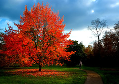 Burning Bush (Flying Fin) Tags: autumn england fall nature saturated bravo burningbush polaris savill treeonfire naturesfinest blueribbonwinner savillgardens mywinners abigfave worldbest platinumphoto colorphotoaward goldenphotographer diamondclassphotographer flickrdiamond top20red soulsresonance theperfectphotographer scenicsnotjustlandscapes 248explore091107