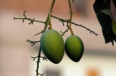 (Lazyousuf) Tags: mango bangladesh