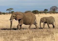Mother and child (AnyMotion) Tags: africa travel nature animals tanzania tiere reisen wildlife 2006 afrika elephants elefanten tansania anymotion elephantsrhinosgiraffeshippos