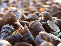 Shell Shore... (mightyquinninwky) Tags: shells river geotagged pod kentucky shoreline shell award bank shore riverfront pow invite banks ohioriver freshwater westernkentucky uniontownkentucky ohioriverbottoms unioncountykentucky ohiorivervalley uniontownboatramp superbmasterpiece 1on1macrosphotooftheweek kentuckyindianastateline 1on1macrosphotooftheweeknovember2007 geo:lat=37774564 geo:lon=87939339 ohioriverbanks uniontownlevee jasonpresser 11223344556677 bestofformyspacestation