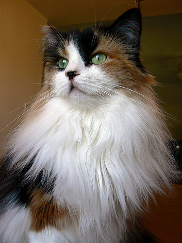 ~Beautiful Cookiecat~ a calico Maine Coon cat