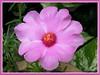 Portulaca grandiflora - a light pink variety