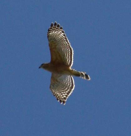 hawk close up 2