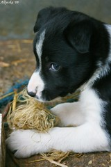 Chewy puppy (Allyeska) Tags: dog pet baby 6 pets cute dogs puppy pups ally puppies collie babies sheep border working australian adorable australia pup weeks six wks collies 6wks blueribbonphotography