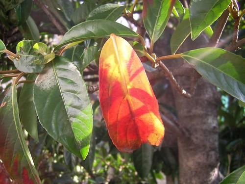 常緑樹も紅葉するの?