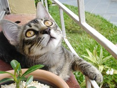 Looking up (Kitty & Kal-El) Tags: pet plant cute male green nature animal cat eyes feline gato felino kalel cc100 lifebeautiful boc0408 photofaceoffwinner ggg27 boc0308 5prettykittycommentsparti