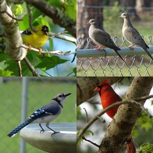 Goldfinch, Dove, Blue Jay, Cardinal