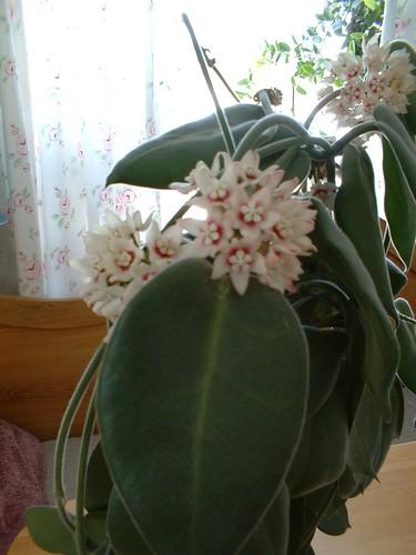 Hoya i blom