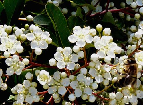 Flor de la Pyracantha