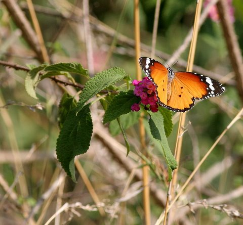 plain tiger  and lantana in the butterfly's shadow 190408