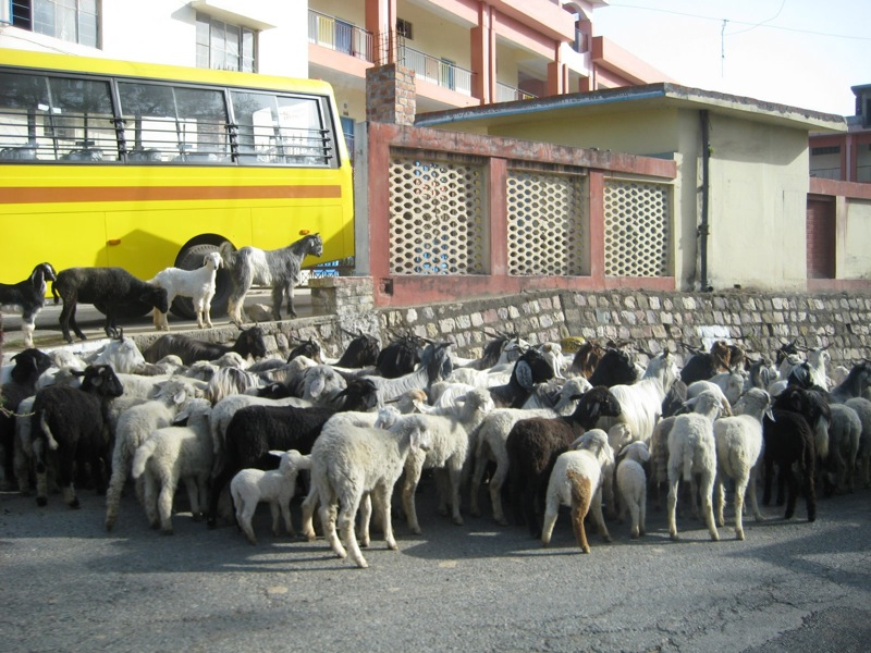 goats and sheeps everywhere-1.JPG