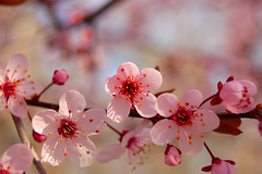 flowering plum tree blossom (amlapedalemap) Tags: pink tree ouryard lakecounty floweringplum lakecountyohio
