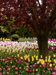 plum tree surrounded by tulips (gapey) Tags: flower tulips plumtree skagitvalley tulipfestival roozengaarde displaygarden