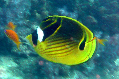 Raccoon Butterflyfish at Similan Islands
