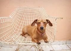 Pucca Sleep (Hatake_Tata) Tags: dog brown crazy chair funny sleep cachorro pucca dauschund salsichinha bass