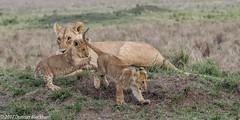 Marsh Mom. (Duncan Blackburn) Tags: 2017 big5 cat kenya masaimara lion mammal nikon nature wildlife ngc npc