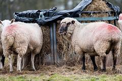 Eat up Ladies (jayneboo) Tags: 365 sheep lambs feeding hay farming agriculture flock