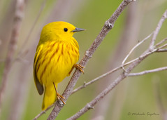 _53F3326-Edit Yellow Warbler (~ Michaela Sagatova ~) Tags: bird nature yellow ngc dundas warbler yellowwarbler dendroicapetechia woodwarbler birdphotography topshots natureselegantshots dvca 100commentgroup thebestofmimamorsgroups mygearandme mygearandmepremium mygearandmebronze mygearandmesilver mygearandmegold mygearandmeplatinum mygearandmediamond michaelasagatova aboveandbeyondlevel1 aboveandbeyondlevel2