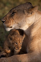 8 week old lion cub by Paul Goldstein (Exodus Travels - Reset your compass) Tags: africa elephant animal buffalo kenya wildlife lion adventure safari leopard rhino ke exodus masaimara