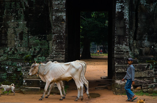 Boy and his cows in front of Banteay Kdei, Angkor Wat