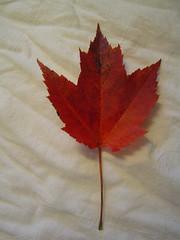 Found: Maple Leaf