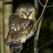 Northern Saw-Whet Owl by Jim Sullivan