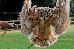 IMG_1763 (simon_x_george) Tags: england bird eagle centre owl prey shuttleworth birdofprey unitedkingdon eagleowl of canon400d canonef75300mmf456usm