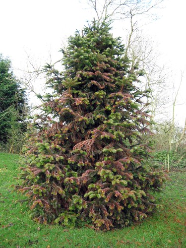 cunninghamia lancelota