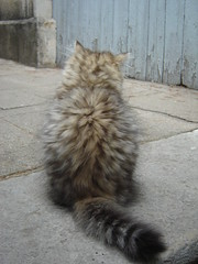 (catherine.caf) Tags: cat persian kitten chat chaton persan