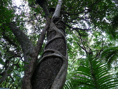 Creepers (phempsall) Tags: sea rainforest australia boardwalk creeper acres portmacquarie seaacres