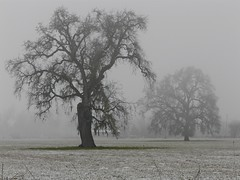 Valley Oaks in Fog & Snow (judi berdis) Tags: snow fog nca willits mendocinocounty littlelakevalley explore475 12302007 valleyoaktrees