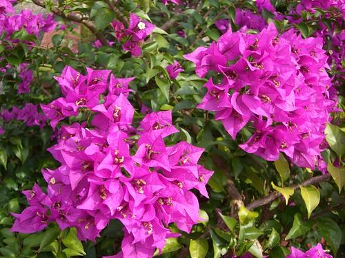 phoenix flowers on Fei Feng Mountain