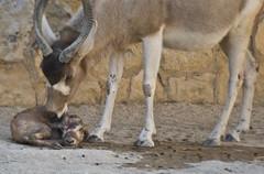 New Mommy! (kamiekam) Tags: life baby animals zoo amazing birth gazelle adayatthezoo