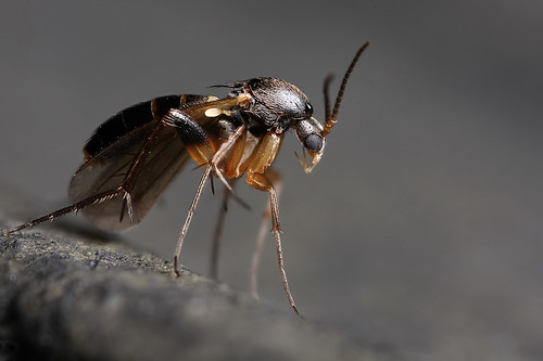 Think this belongs in LOTR - a fungus gnat by Lord V