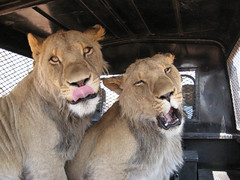 Zion and Trust (crimson-colored clovers) Tags: yawn lick trust lions zion namibia harnas