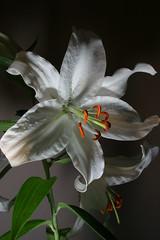 Lily 3 (D.Reichardt) Tags: flower color germany d blumen lilie farben niedersachsen lowersaxony stubben reichardt dreichardt