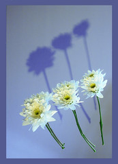 Reflections and Shadows (Pockets1) Tags: flowers blue white jason green thanks reflections lumix town petals interestingness shadows border tint panasonic explore stems top500  explored fz8 pca16 pockets1 jasontown